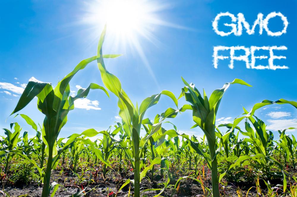 GMO mentes takarmánynövény. A kép illusztráció. A kép forrása: agroinform.hu
